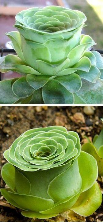 Greenovia dodrentalis - Rose-shaped #succulent