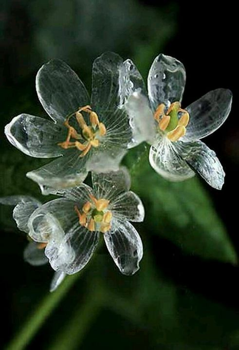 Diphylleia Grayi beautiful flower.<3