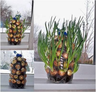 How to grow onion #indoor #GardeningTips