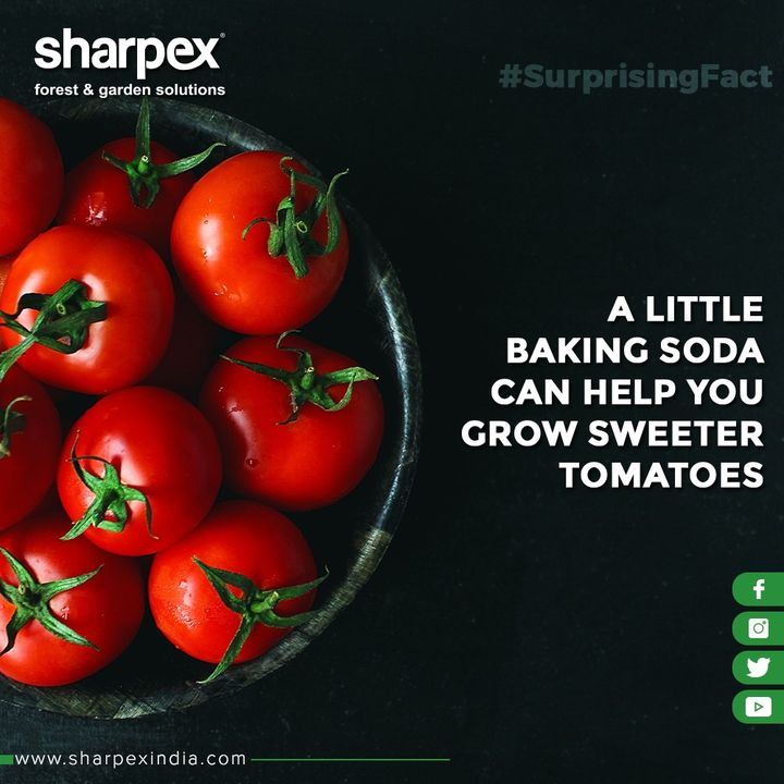 A little baking soda can help you grow sweeter tomatoes.  A regular sprinkling of this kitchen staple into your plant's soil can help reduce acidity, which sweetens up your crop.  #GardeningTools #ModernGardeningTools #GardeningProducts #GardenProduct #Sharpex #SharpexIndia