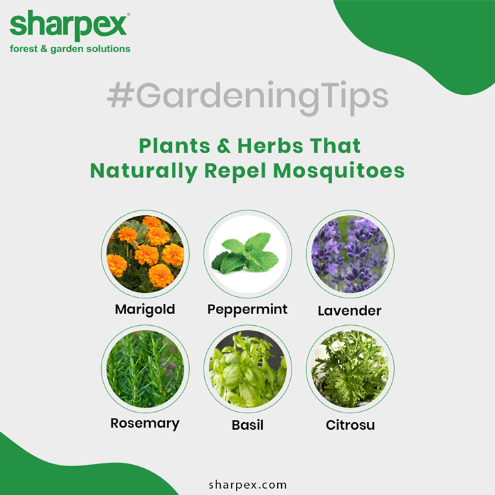 Mosquitoes are such a big problem these days!! Stop this blood-sucking monster entering our lives, let's look at the fantastic list of plants and herbs which can be grown easily and will keep these pests far far away!  #GardeningTips #GardeningTools #ModernGardeningTools #GardeningProducts #GardenProduct #Sharpex #SharpexIndia