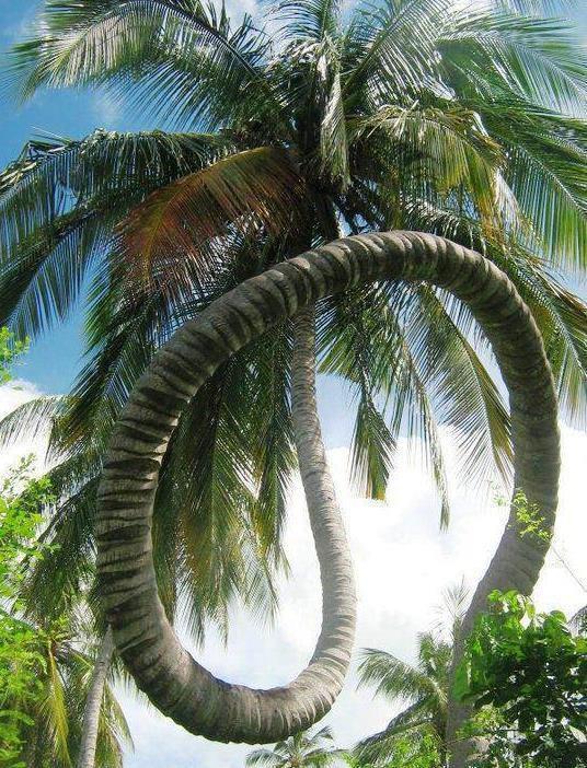 unusual coconut tree.