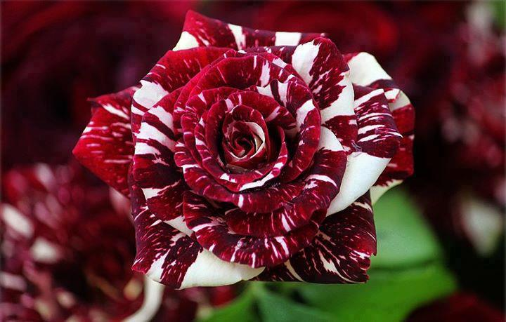 hybrid - tiger strips rose..