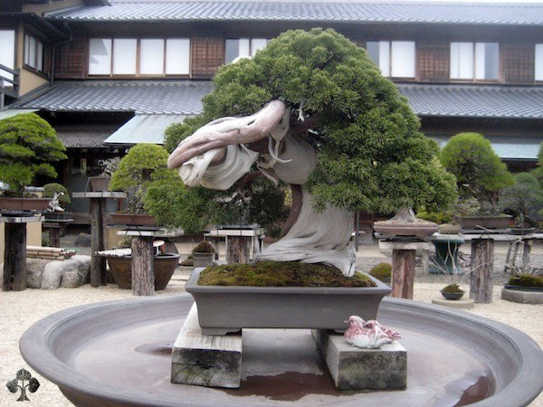 This is a Bonsai tree from Japan, more than 800 years old! Its owner Master Kobayashi is one of the most well know Bonsai artists in the world. To know more about what is Bonsai, its history and various styles of Bonsai, check out our latest blog post http://sharpexblog.com/2012/09/all-about-bonsai/