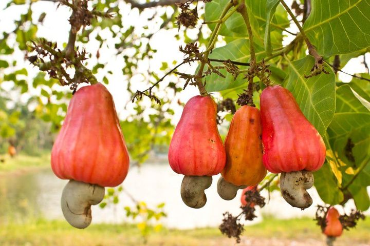 Have you ever wondered how the cashew nut grows? Tropical growing cashew trees produce a fruit called the 'cashew apple', the 'nut' grows from the bottom of this fruit and is actually not a nut but a seed.