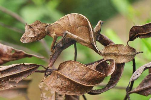 A Fantastic Leaf-tailed Gecko, also known as a Satanic Leaf-tailed Gecko hides in Andasibe-Mantadia National Park in Madagascar.
