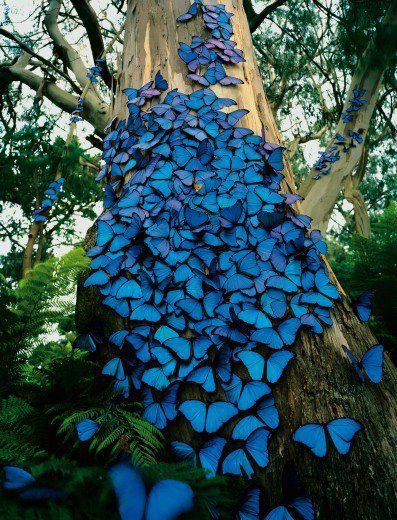 Blue Butterflies Tree. Morpho Butterfly , they are mostly found in South America. This is a photograph taken in Brazil.