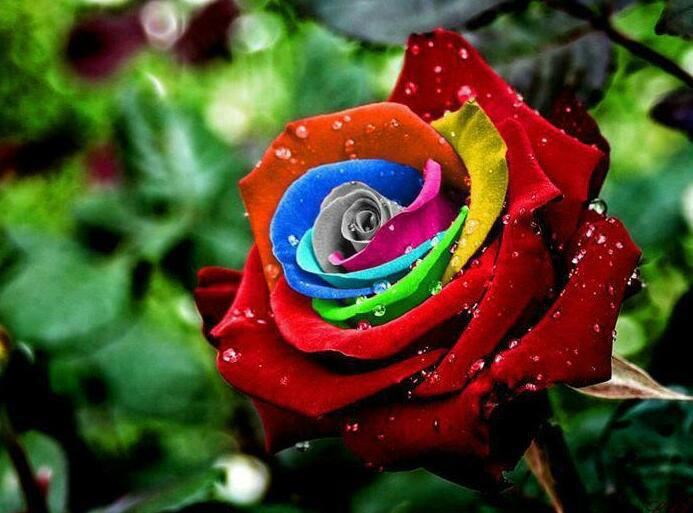 The Rainbow Roses!! The Rainbow roses were created by Dutch flower company owner Peter VanDe Werken, who produced them by developing a technique for injecting natural pigments into their stems while they are growing to create a striking multicolored petal effects. The dye are produced from natural plant extracts and absorbed by the flowers as they grow. A special process then controls how much color reaches each petal- with spectacular results. By treating the stalk with natural pigments, Van De Werken has manage to make each petal a different color. The pigment is absorbed and travels to the petals where it changes their hue.