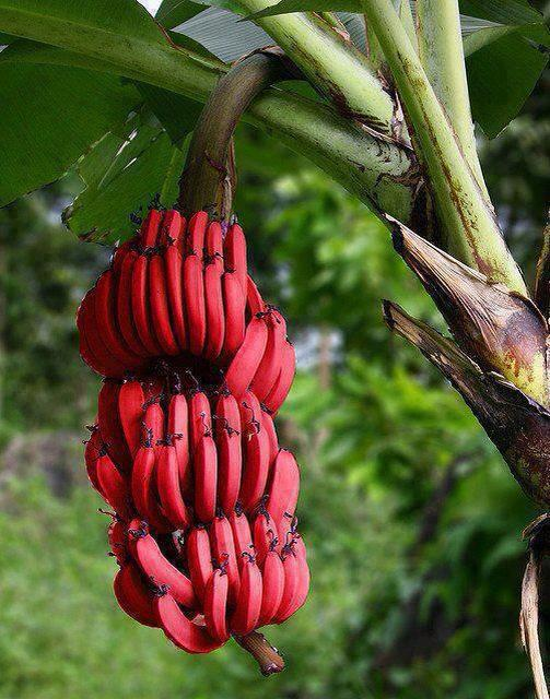 Red bananas, also known as Red Dacca bananas are a variety of banana with reddish-purple skin. They are smaller and plumper than the common Cavendish banana. When ripe, raw red bananas have a flesh that is cream to light pink in color. They are also softer and sweeter than the yellow Cavendish varieties, with a slight raspberry flavor. Many red bananas are imported from producers in Asia and South America. They are a favorite in Central America but are sold throughout the world.