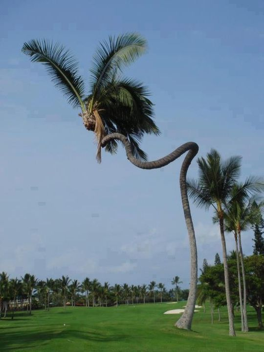 cool spiral coconut tree!!