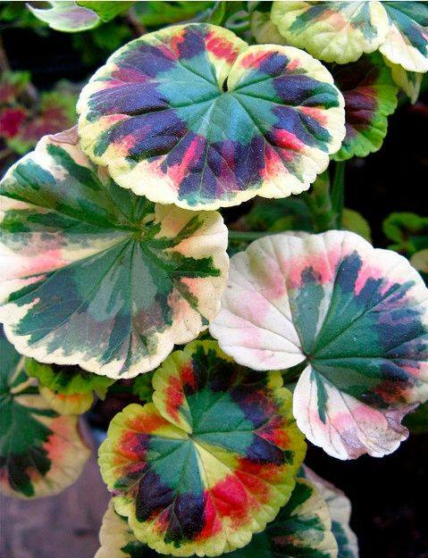 A tri-colored Geranium!