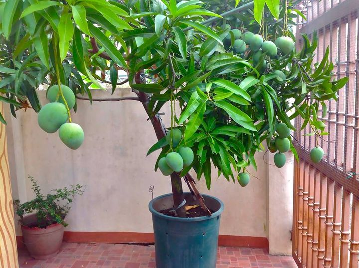 Bucket - Indian mango