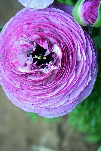 Purple Ranunculus!