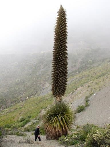 #PUYA #RAYMONDI / #Titanca / #Santon. one of the rarest plants in the world. can reach to measure up to 12 meters. Its leaves, which are very hard and espinozas, reach a length of two metres.