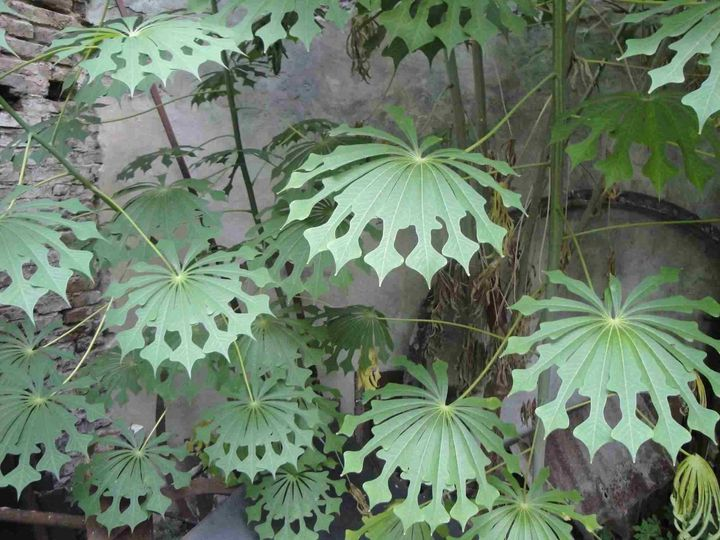 Very unusual leaf. #ManihotGrahamii or #HardyTapioca