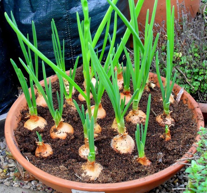 Grow onion at home.. you have to just keep growing and producing tops for cutting, and live permanently in the pot.  #homegarden #indoorgarden #onion #onionplant #plants