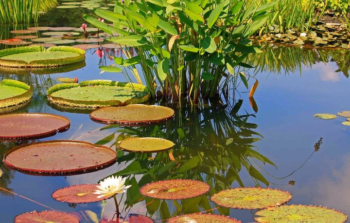 Water Lilies! #waterlily
