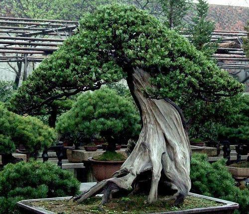 bonsai! #bonsai