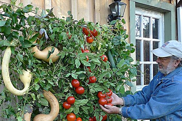 This is a perfect idea to use your backyard wall..... Get juicy tomatos from your backyard...isn't amazing????   #garden #gardening