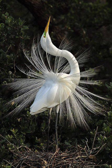 Egret in Everglades National Park, Florida...