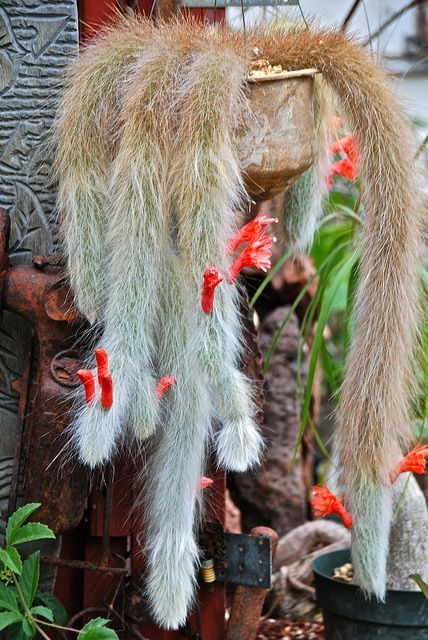 Wow...its so nice monkey tail cactus..!!