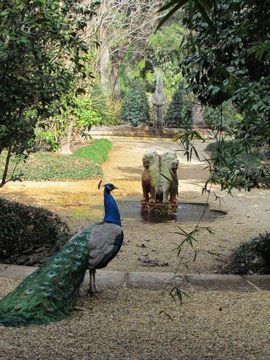 peacock in garden!