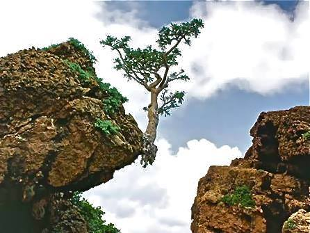 IF A TREE CAN GROW ON A ROCK, IT MUST BE EASY TO GROW PLANTS IN CONTAINER Just consider the problems for such a tree to stay alive and be aware of the panoply of possibilities we have to create an excellent substrate in a container, a pot, a bag, a bin, a drum, a bottle, a bottle tower, a basket..