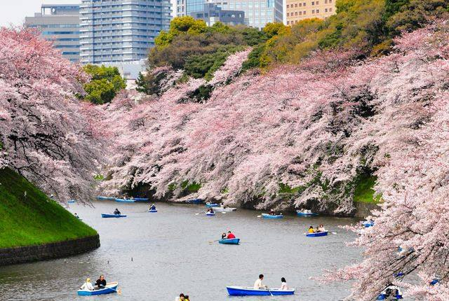 Cherry Blossoms..Spring in Tokyo.