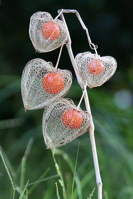 Physalis alkekengi (bladder cherry, Chinese lantern, Japanese-lantern, or winter cherry)