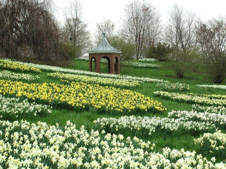 explore daffodils!!