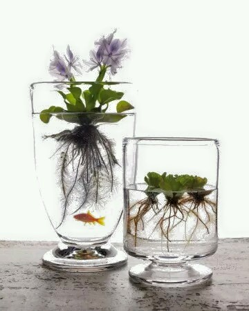 How cool!! that you can have gold fish that feed off the roots of the plant..