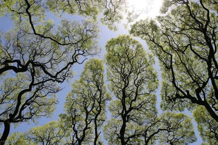 Some species of trees suffer from shyness for reasons still not understood, leaving few feet of empty slot called shyness to separate from their neighbors and not let their branches mix.  The phenomenon has been studied for the first time in Australia in the 60's and was given the name of crown shyness.