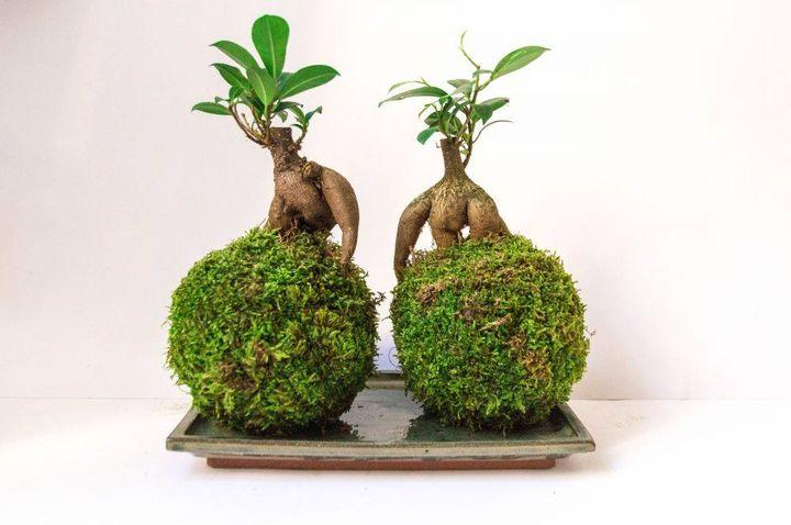 Kokedama - Ginseng Ficus Bonsai.  #bonsai
